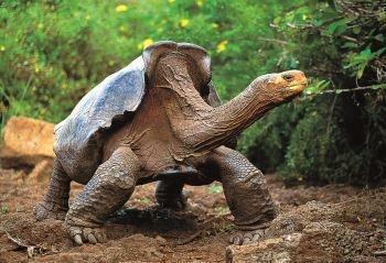 Tortue de voyage des Galapagos